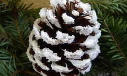 Als trockene Kiefernzapfen für Weihnachtsbasteln