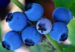 Черника ягоды свойства